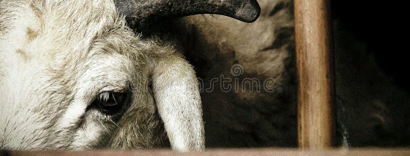 Овцы в курятнике и надежда к выходить стоковое фото rf