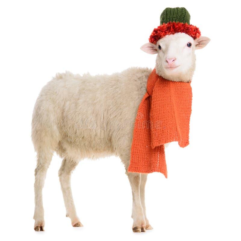 Овцы в одеждах рождества стоковое фото rf