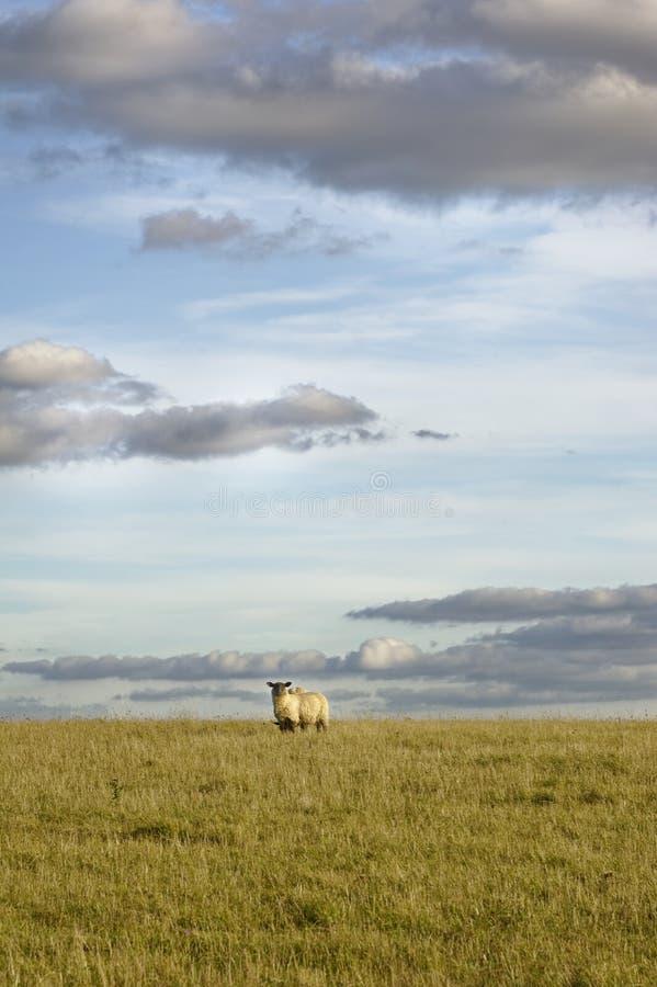 Овцы в поле, голубом небе и идеальных облаках Англия стоковое фото rf