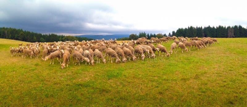 Овцы в поле в Франции стоковое фото rf