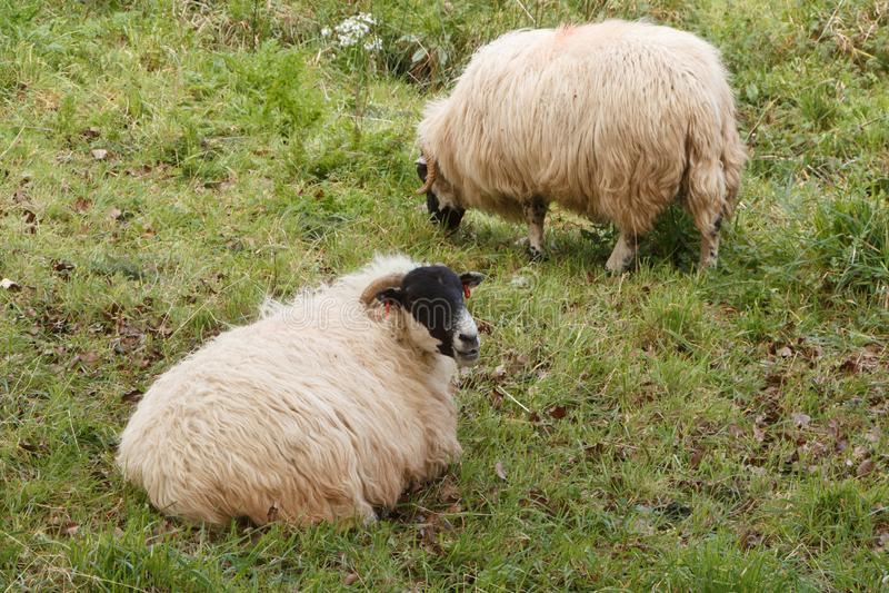 Овцы в поле стоковое изображение