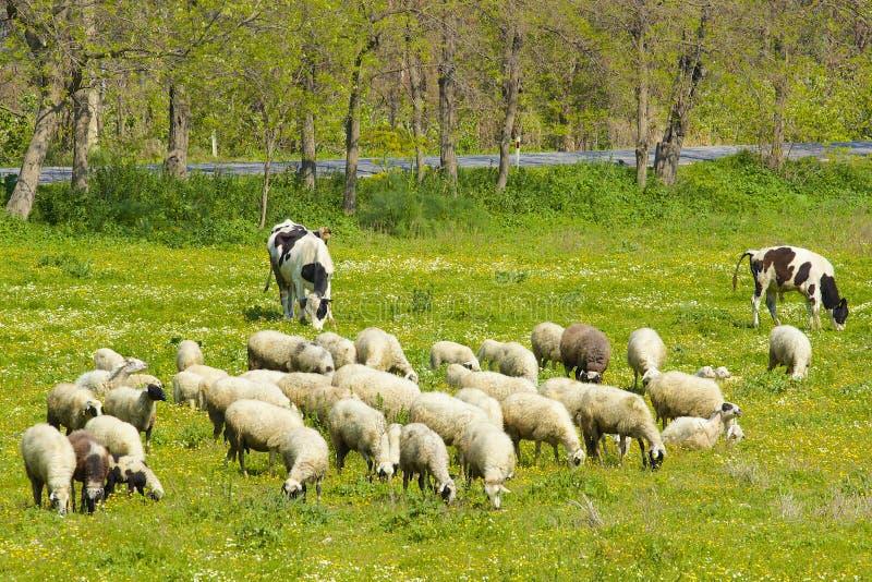 Овцы в поле, Турция стоковое изображение rf
