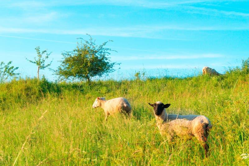 Овцы в поле стоковое фото rf