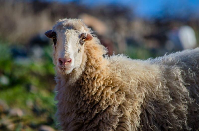 Овцы в природе на луге Обрабатывать землю внешний, Крит стоковое изображение