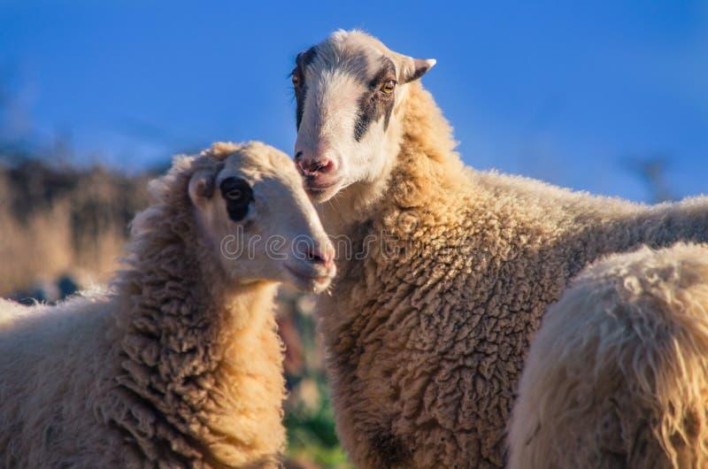 Овцы в природе на луге Обрабатывать землю внешний, Крит стоковое фото