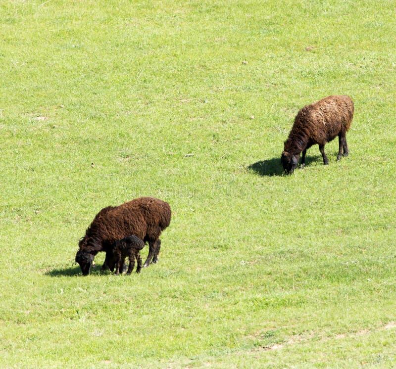 Овцы в природе стоковое фото rf