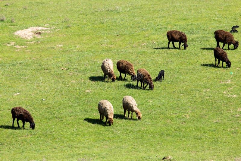 Овцы в природе стоковые фотографии rf