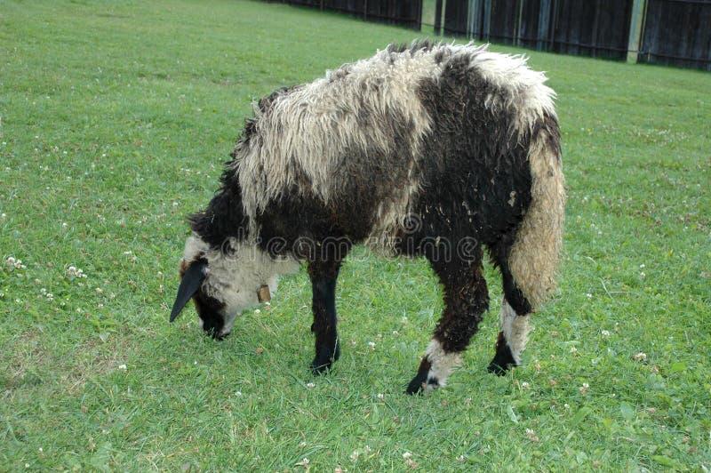 Овцы в приложении стоковое фото