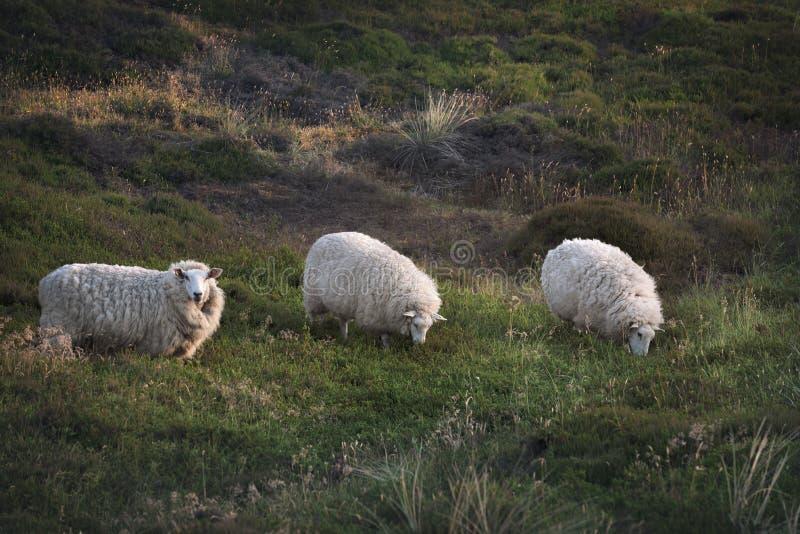 3 овцы в ряд пася на выгоне стоковое фото