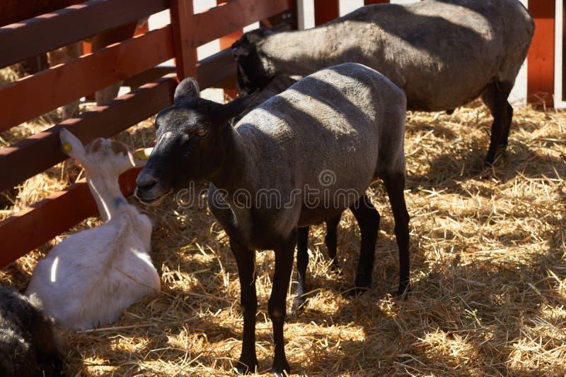 Овцы в сарае фермы деревянном, конец-вверх Индустрия земледелия стоковая фотография