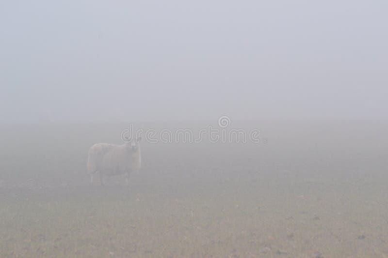 Овцы в тумане стоковое фото