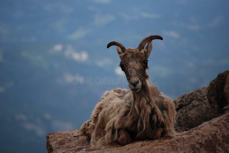 овцы горы bighorn утесистые стоковые изображения rf