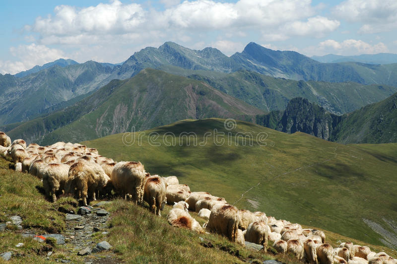 овцы гор табуна стоковые фото