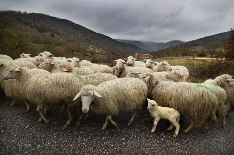 овцы дороги стоковое фото