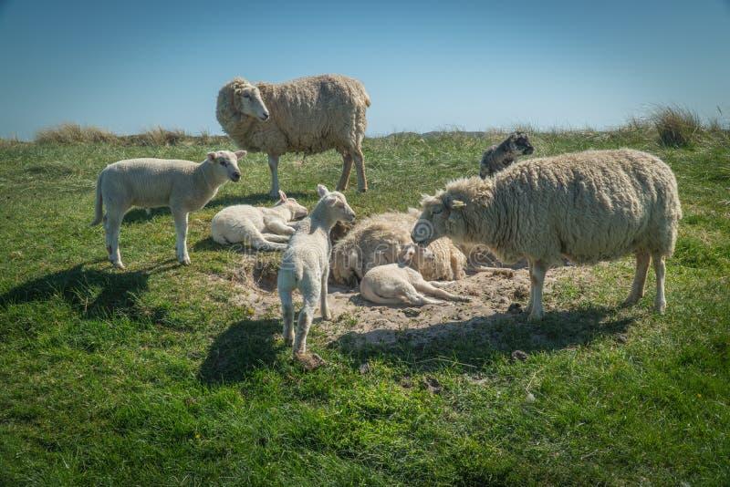 Овцы едят траву на dike стоковое фото rf