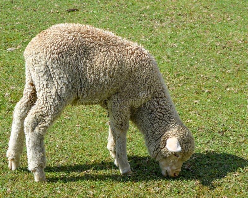 Овцы есть в выгоне, овечка, пася стоковые фотографии rf