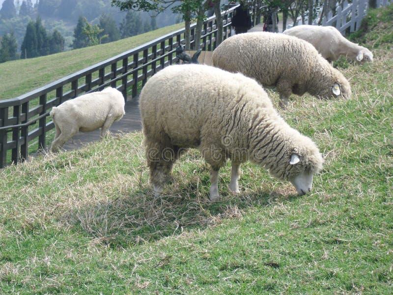 Овцы есть траву, ферму Cingjing, Тайвань стоковое изображение