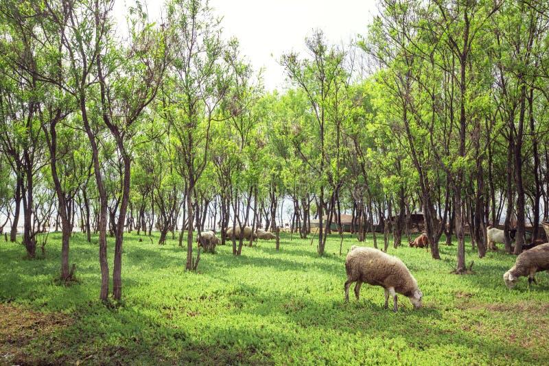 Овцы есть траву стоковая фотография rf
