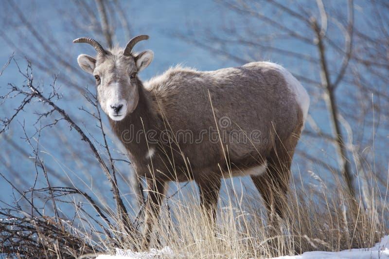 овцы женщины bighorn стоковая фотография