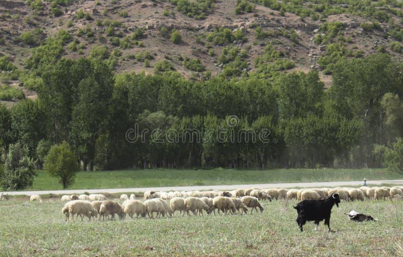 Овцы и коза стоковое фото