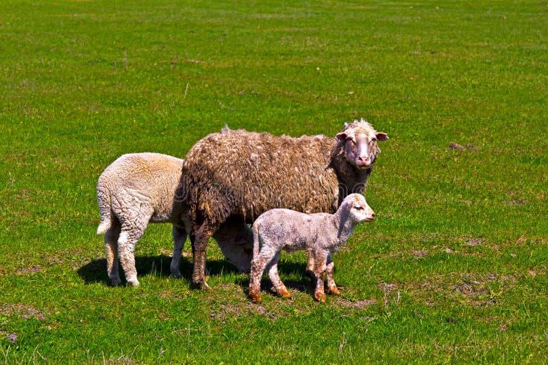 Овцы и овечка стоковое изображение rf