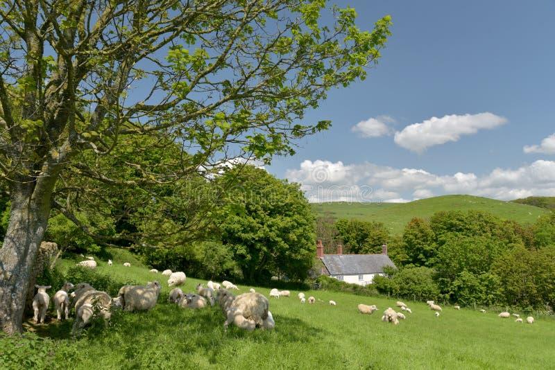 Овцы и овечки в поле, Abbotsbury стоковое изображение