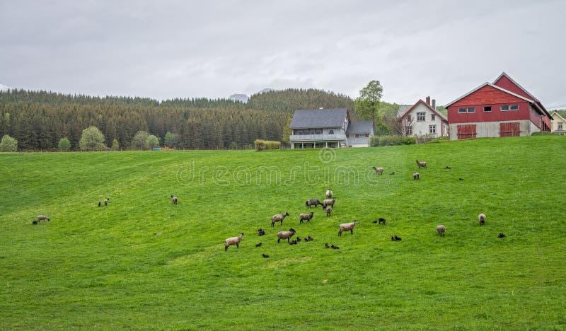 Овцы и сельский дом стоковое изображение rf