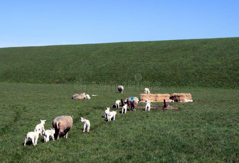 Овцы идя к кормушке стоковые фотографии rf