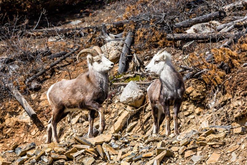 Овцы камня Ram и овцы или овцы Dall в территории Юкона Канады стоковые изображения