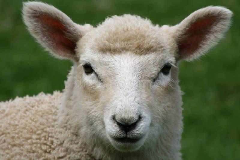 овцы крупного плана стоковое изображение rf