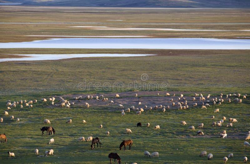 овцы лошадей стоковые изображения