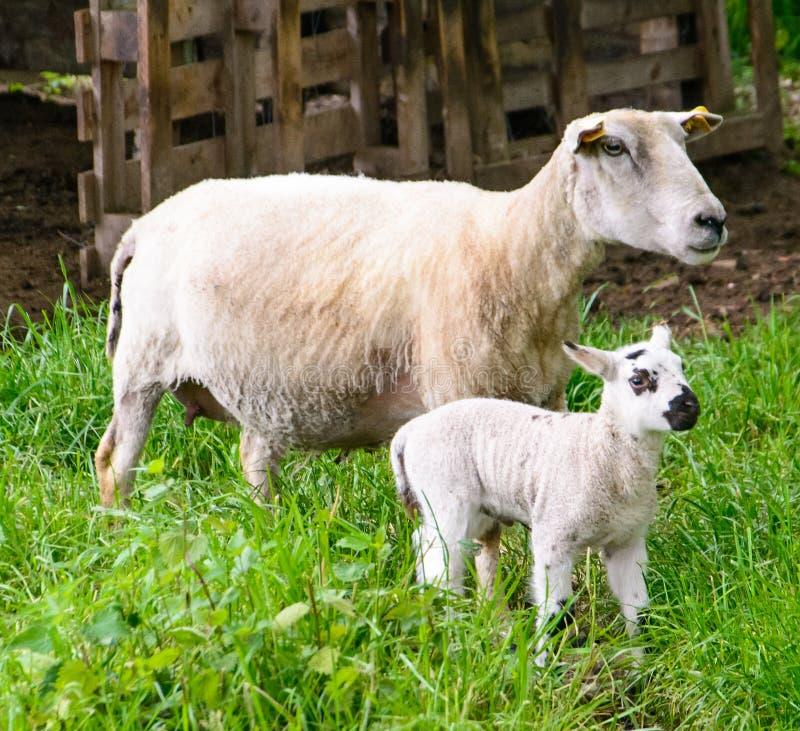 Овцы матери с одной овечкой стоковое изображение