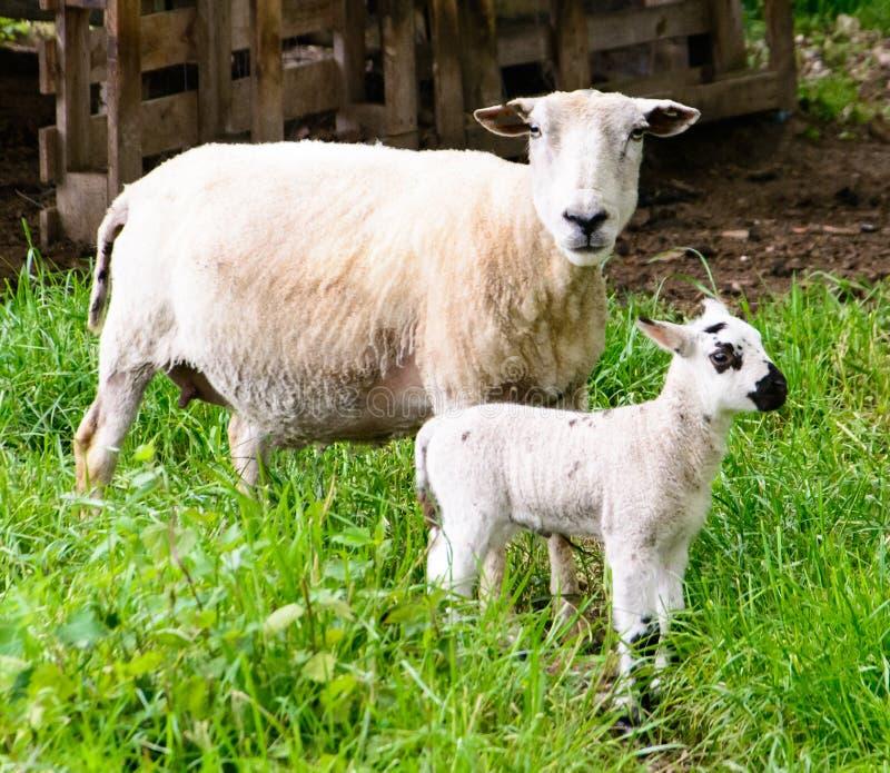 Овцы матери с одной овечкой стоковые фото