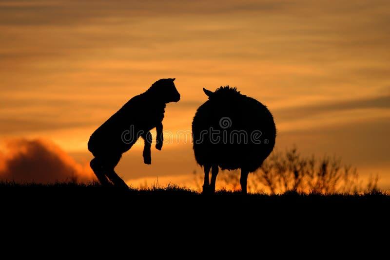 Овцы младенца с своей матерью в солнце вечера стоковая фотография