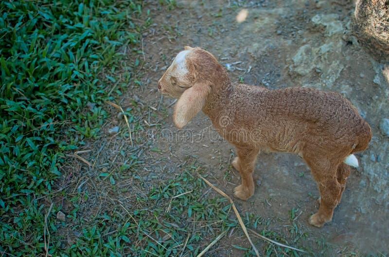 Овцы младенца стоковое фото rf