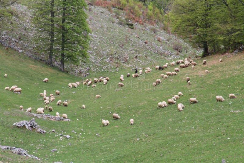 Овцы на выгоне стоковое изображение