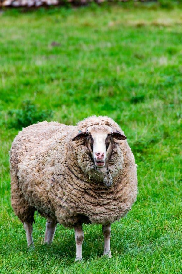 Download Овцы на зеленых gras 1 стоковое фото. изображение насчитывающей овцематка - 81804846