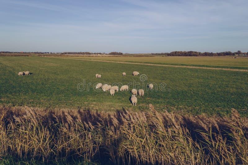 Овцы на злаковике Texel в вечере стоковое изображение