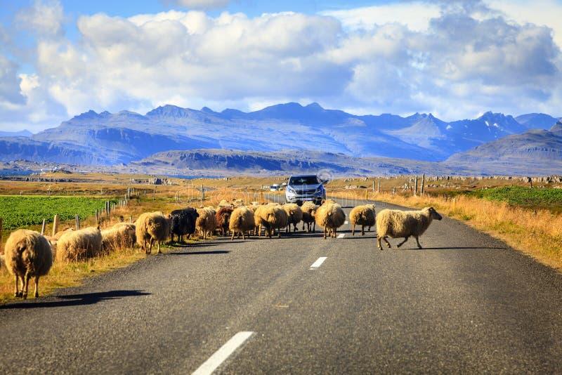 Овцы на дороге в Исландии стоковые изображения rf