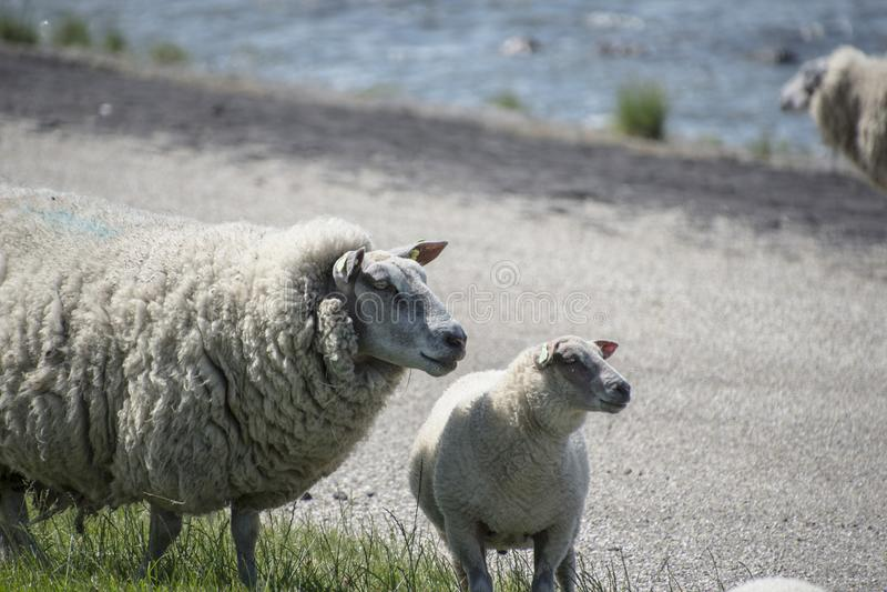 Овцы на a на острове Texel в Нидерланд стоковое фото rf
