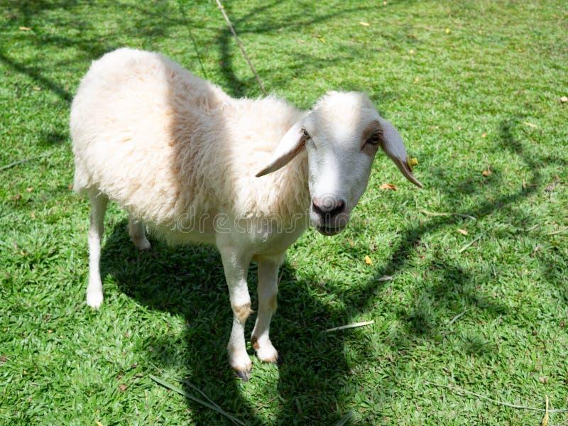 Овцы на поле весной стоковая фотография rf