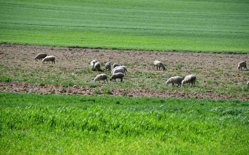 Овцы на поле пасутся стоковое изображение