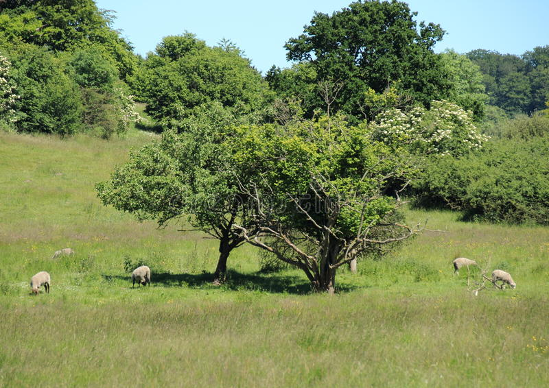 Овцы на поле в лете с голубым небом стоковые изображения rf