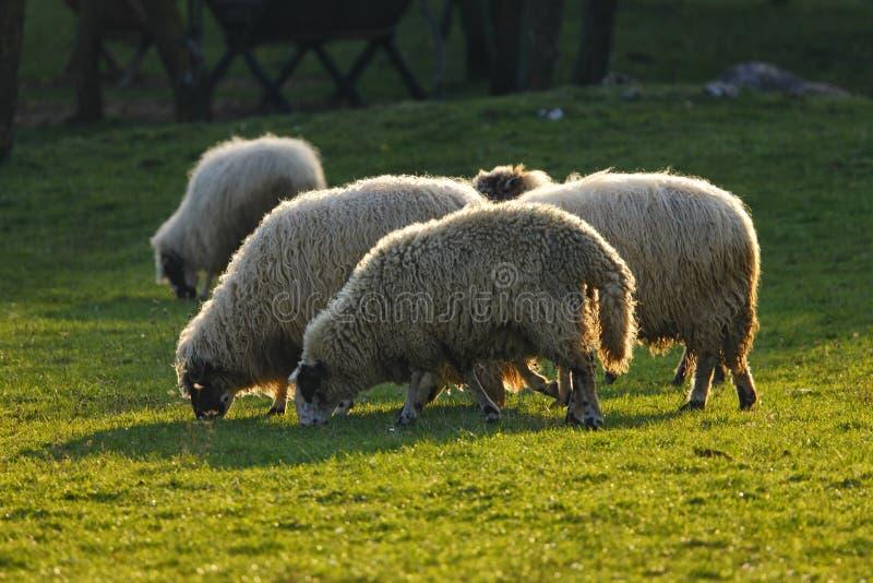 Овцы на поле стоковое изображение rf