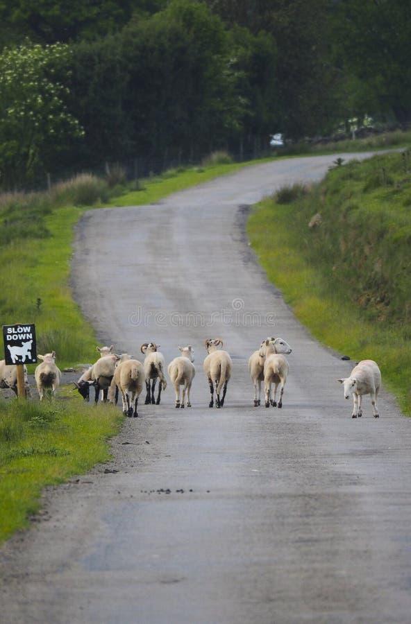 Овцы на проселочной дороге с дорожным знаком стоковые изображения
