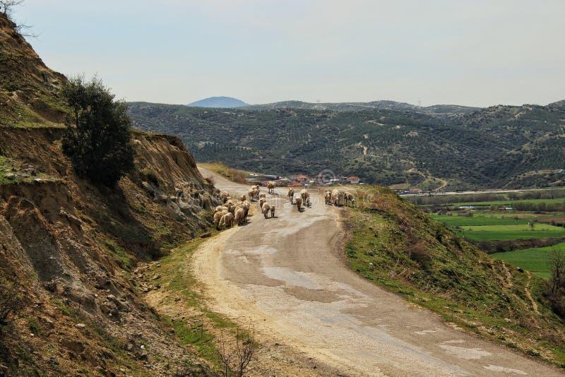 Овцы на спокойной дороге стоковые изображения rf