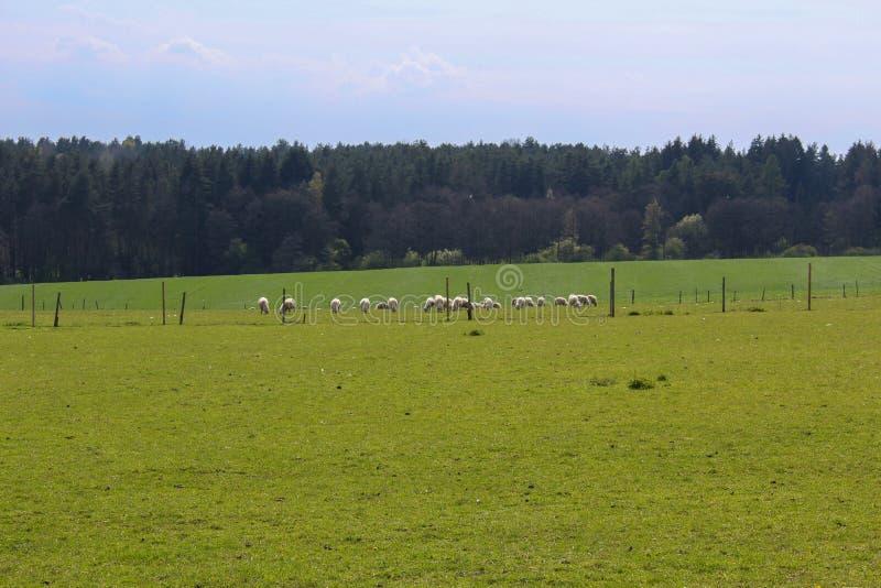 Овцы на траве с лесом и голубым небом чехословакский ландшафт стоковое фото rf