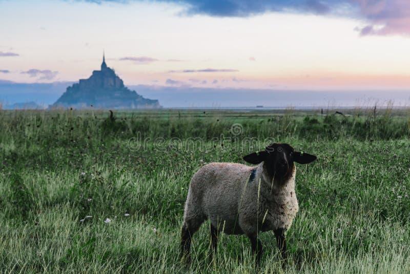 Овцы на траве с blured аббатством Мишеля Святого Mont на острове на предпосылке, Нормандия, северная Франция, стоковая фотография