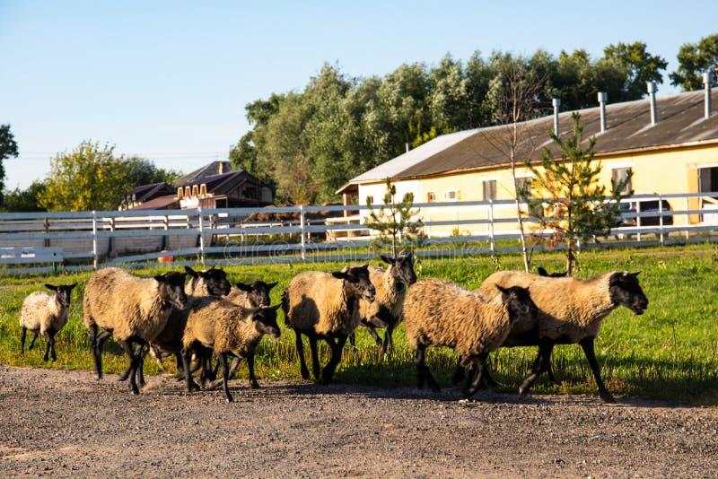 Овцы на ферме в вечере назад от выгона стоковое изображение rf
