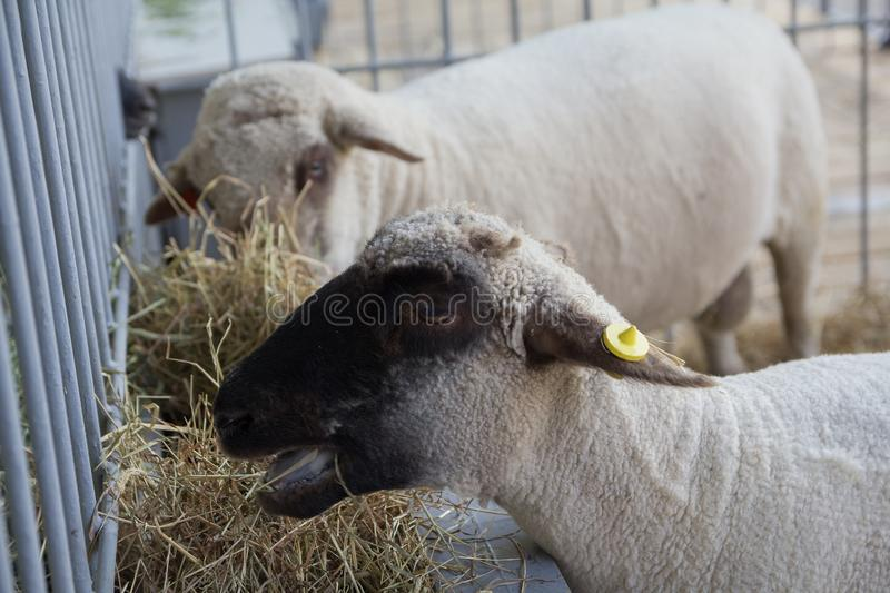 Овцы на ферме лежат на поле амбара стоковые фото